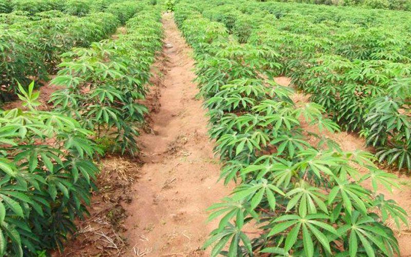 ในประเทศ - นายกฯเร่งอนุมัติงบ20ล้าน ช่วยเหลือเกษตรกรปลูกมันสำปะหลังไร่ละ3พัน